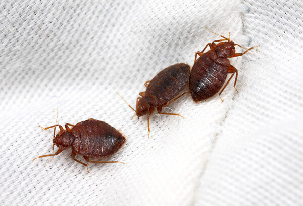 Bed-Bugs-on-white-sheet